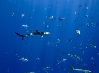 The Importance of BIOT for Pelagic Predators in the Indian Ocean