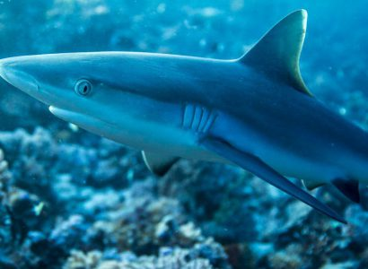 The Ecology and Ecosystem Roles of Reef Sharks in the BIOT MPA