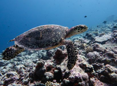 The Ecology of Sea Turtles in the British Indian Ocean Territory